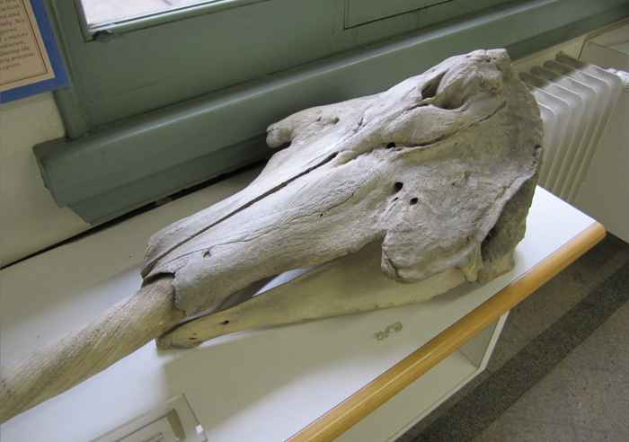cráneo de narval