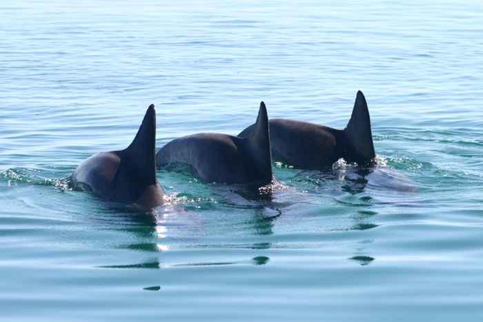 delfines cooperando