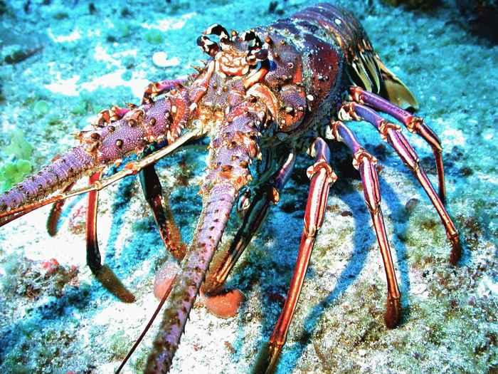langosta espinosa del Caribe