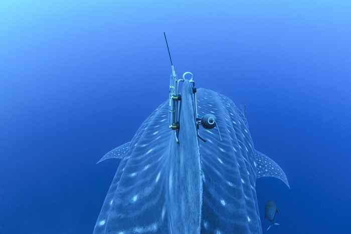 tiburón ballena sonido etiqueta
