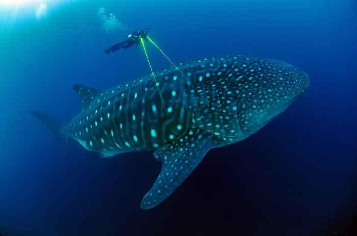 tiburón ballena sonido medida