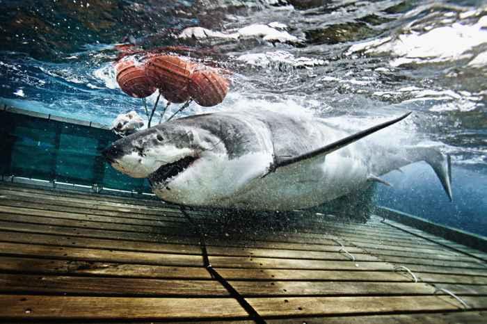 tiburón taca un cebo de pesca