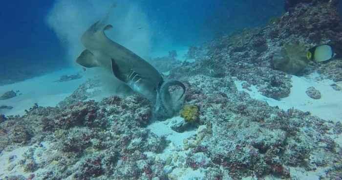 tiburón devora a un pulpo