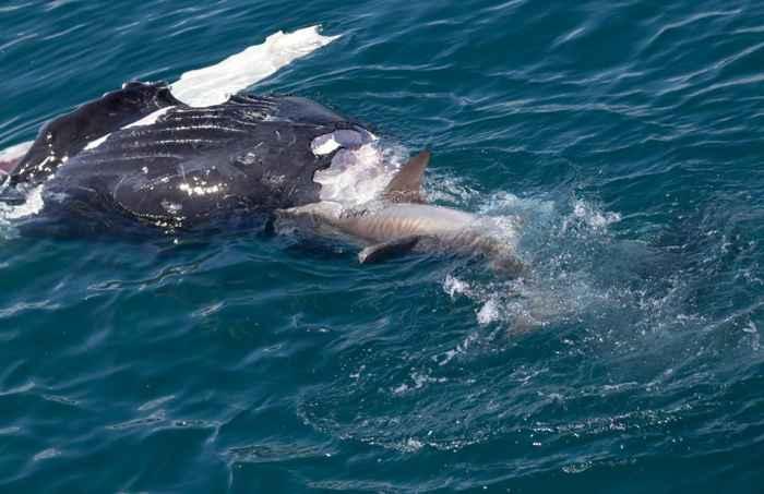 tiburón muerde a una ballena viva