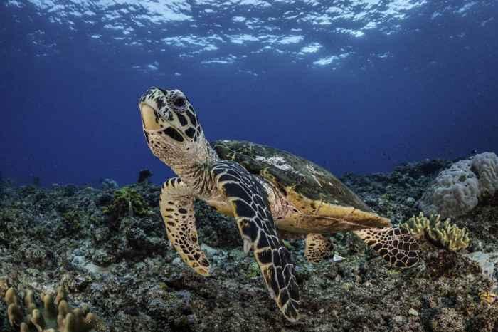 tortuga carey en Galápagos