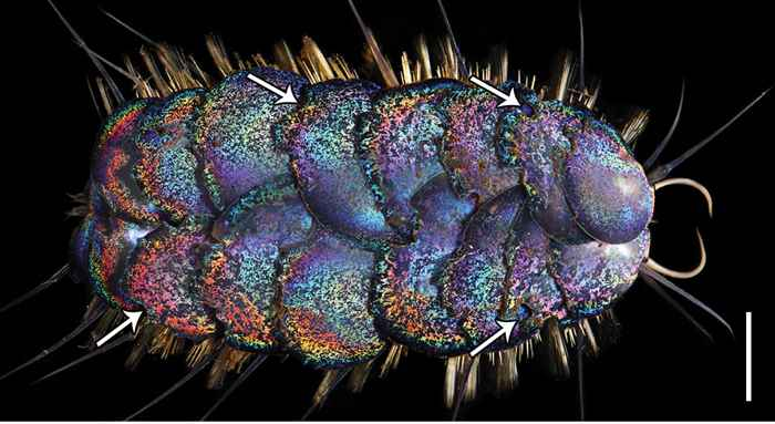 Peinaleopolynoe orphanae