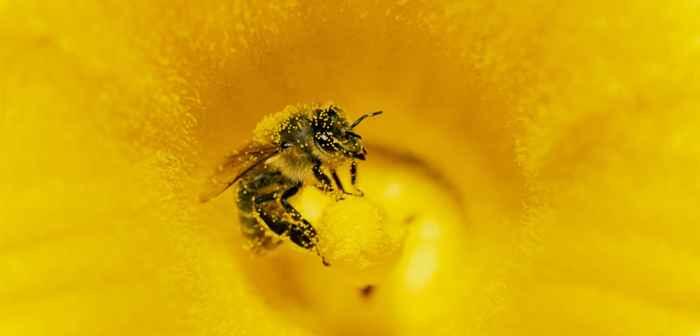 abeja polinizadora