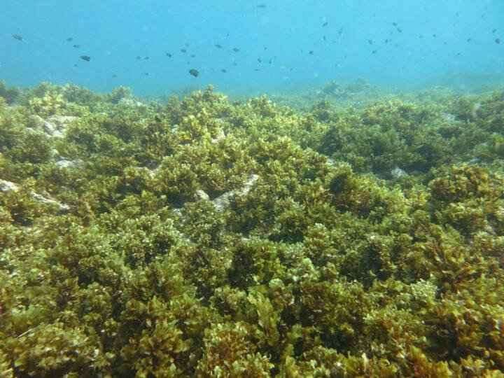 algas dominan un arrecife de coral