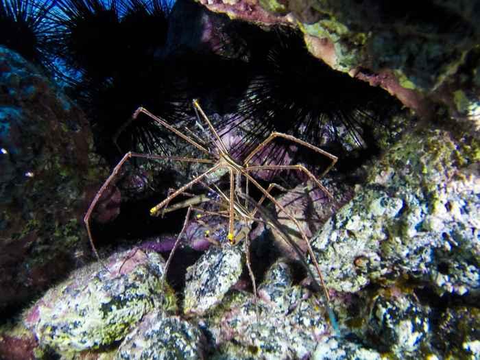 araña de mar