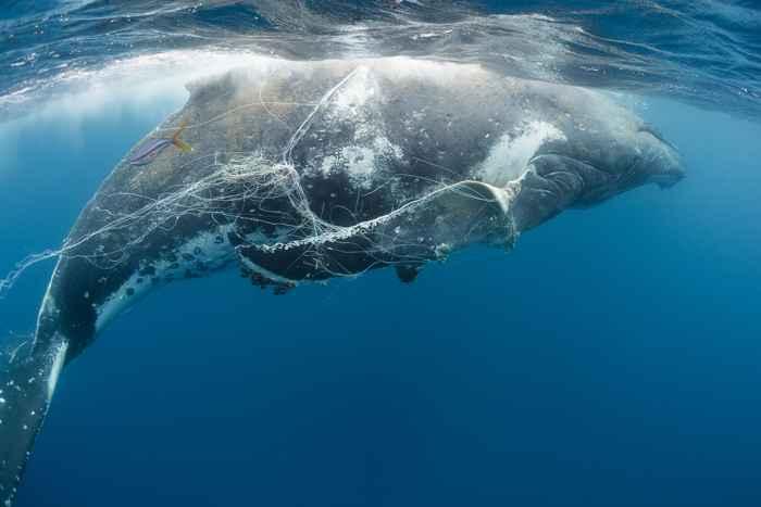 ballena enredada