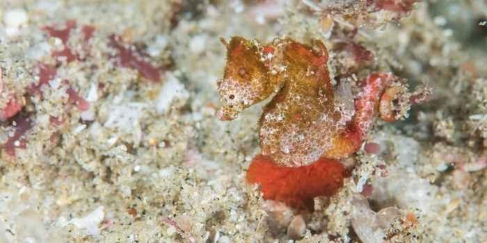 caballito de mar pigmeo (Hippocumpus nalu)