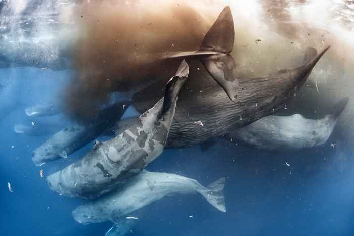 cachalotes defecando