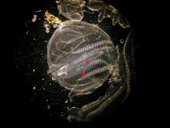 canibalismo en la Mnemiopsis leidyi