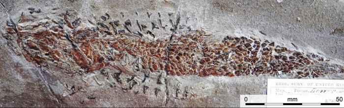 daños en fósil de pez