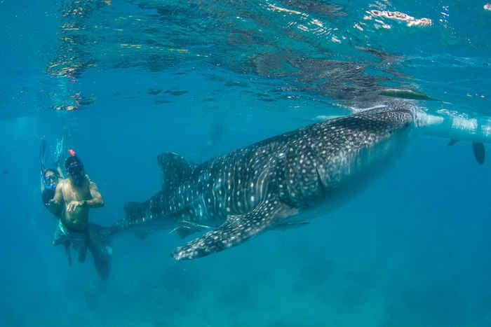 ecoturismo de tiburón ballena en Filipinas
