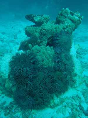 estrellas de mar corona de espinas en un coral