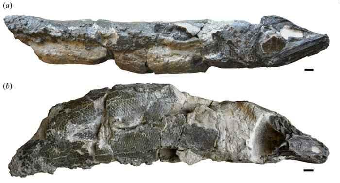 fósiles de Clupeopsis straeleni