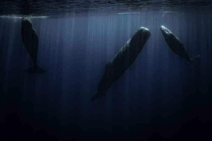 grupo de cachalotes