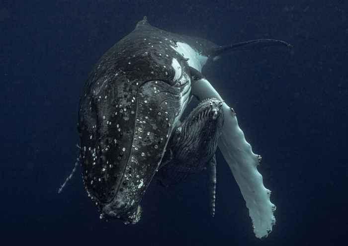 madre y cría de ballena jorobada
