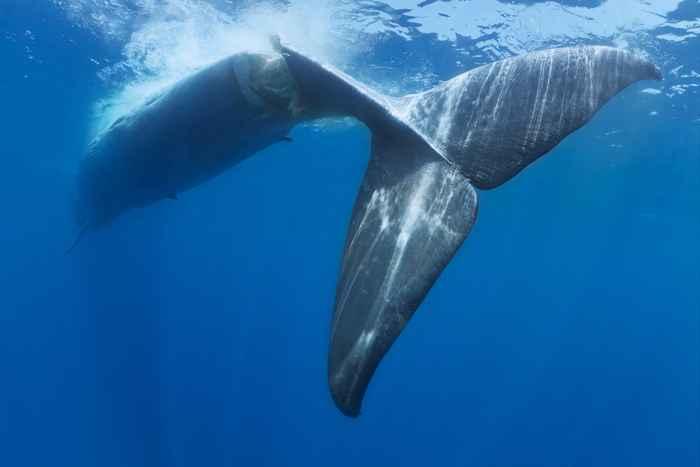 ballena azul tras una colisión con un barco