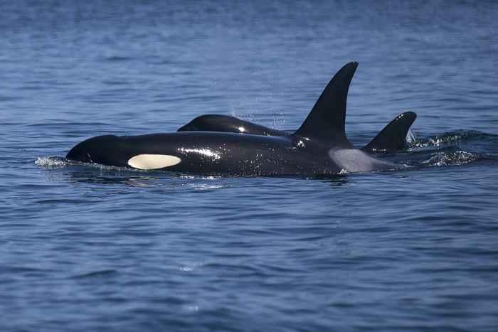 orcas residentes del sur