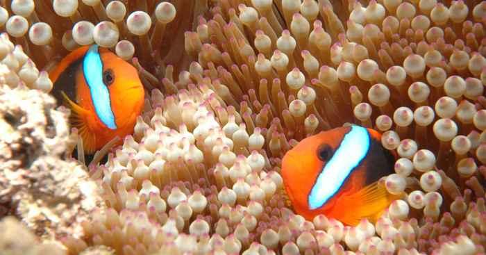 peces payaso en la Gran Barrera de Coral