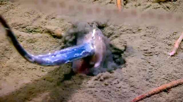 pez bentónico captura una barracuda