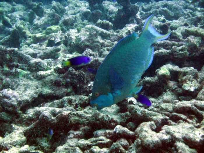 pez loro en un arrecife de coral