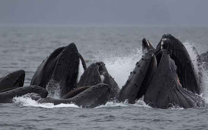 red de burbujas de ballenas jorobadas