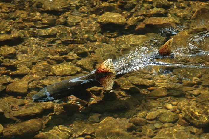 salmón Chinook (Oncorhynchus tshawytscha) en un río