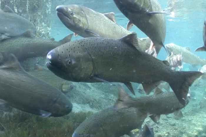 salmón Chinook (Oncorhynchus tshawytscha)
