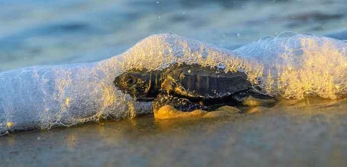 tortuga marina bebé