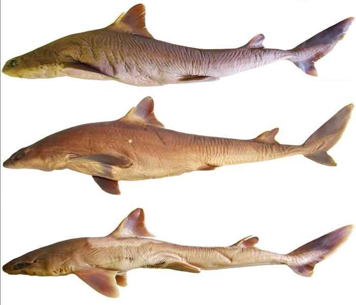 tiburón perro Squalus shiraii