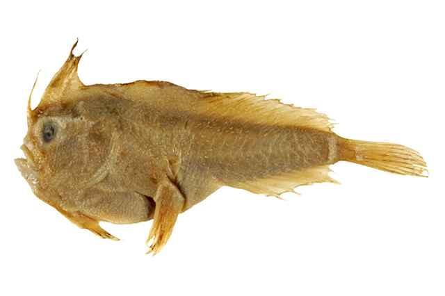 Sympterichthys unipennis