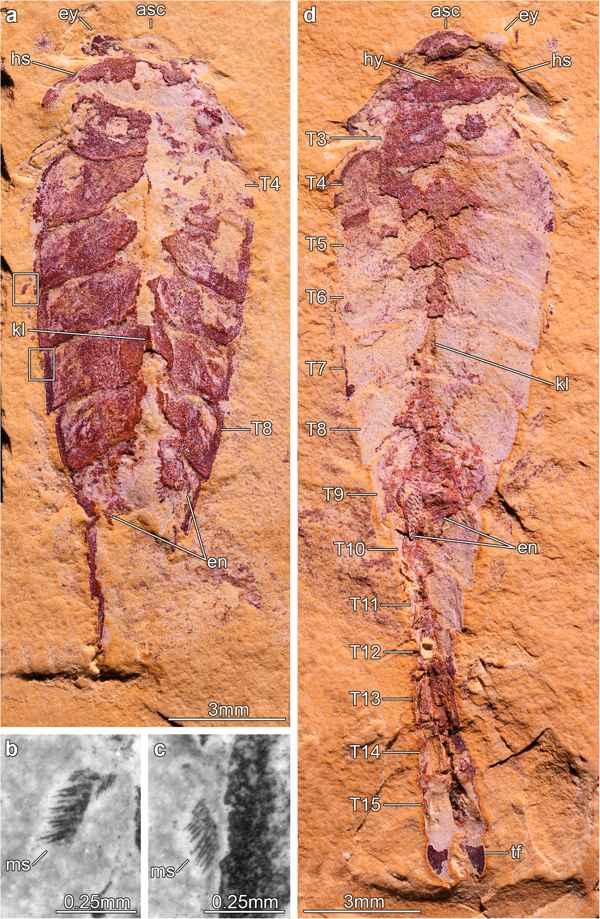 fósil de Xiaocaris luoi