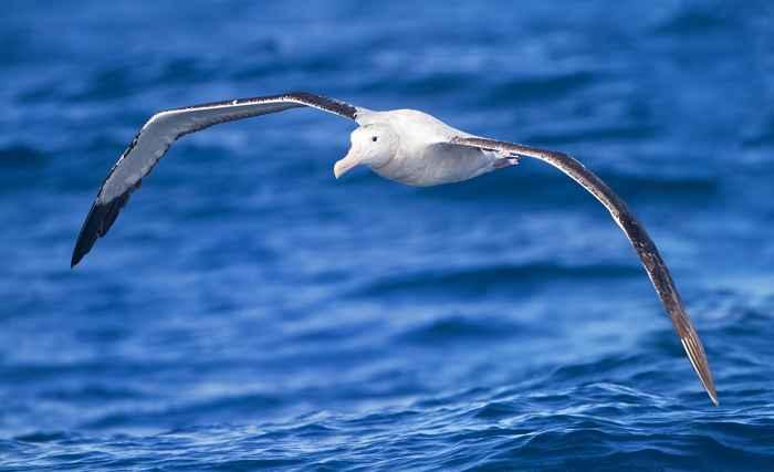 albatros planeando
