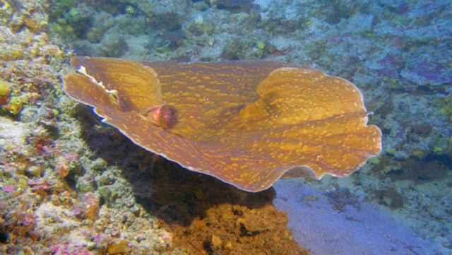 coral Leptoseris hawaiiensis