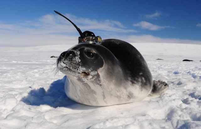 foca equipada con un sensor