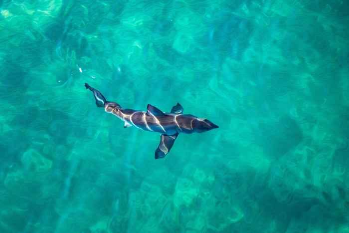 gran tiburón blanco en la superficie