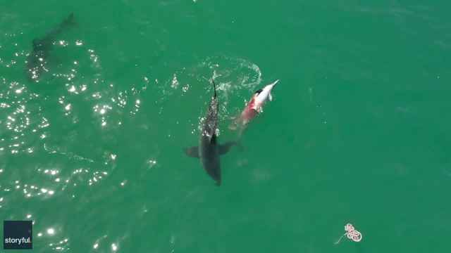 grandes tiburones blancos se alimenta de un delfín
