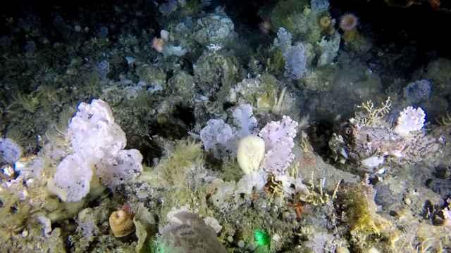 jardín de corales en Groenlandia