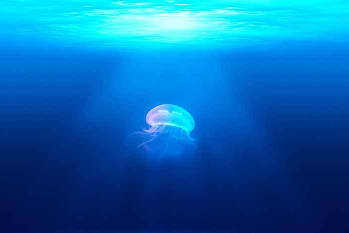 medusa Nemopilema nomurai