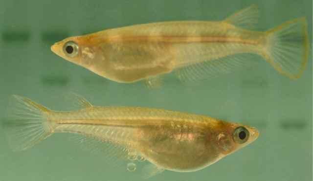 pez medaka (Oryzias latipes)