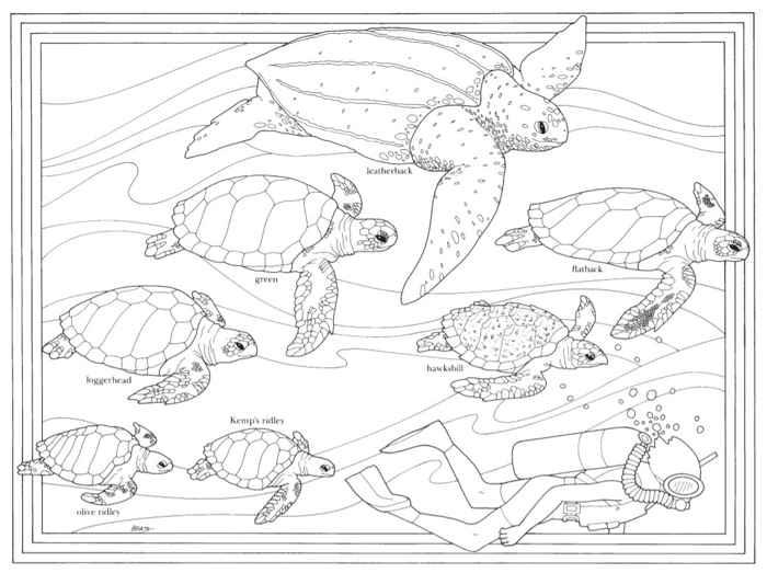 tortugas marinas para colorear