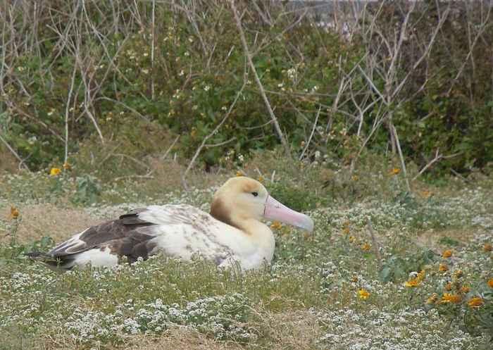 albatros de cola corta (Phoebastria albatrus)