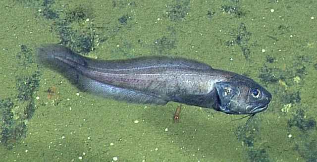 anguila de aguas profundas