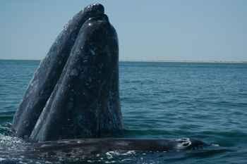 ballena gris adulta y su ballenato