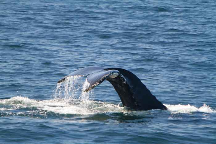 ballena jorobada Megaptera novaeangliae