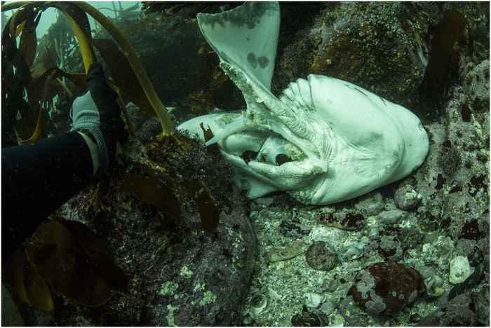 cadáver de tiburón en la costa de Sudáfrica