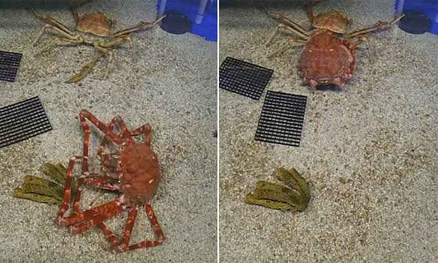 cangrejo cambia de caparazón